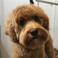 doodle dog after grooming