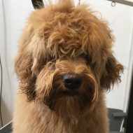 doodle dog before grooming